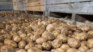 Увеличение сроков хранения картофеля
